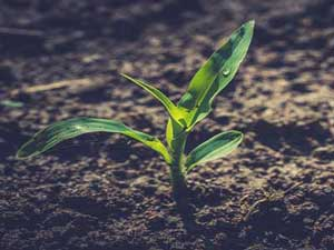 What difference can a corn starter fertilizer make